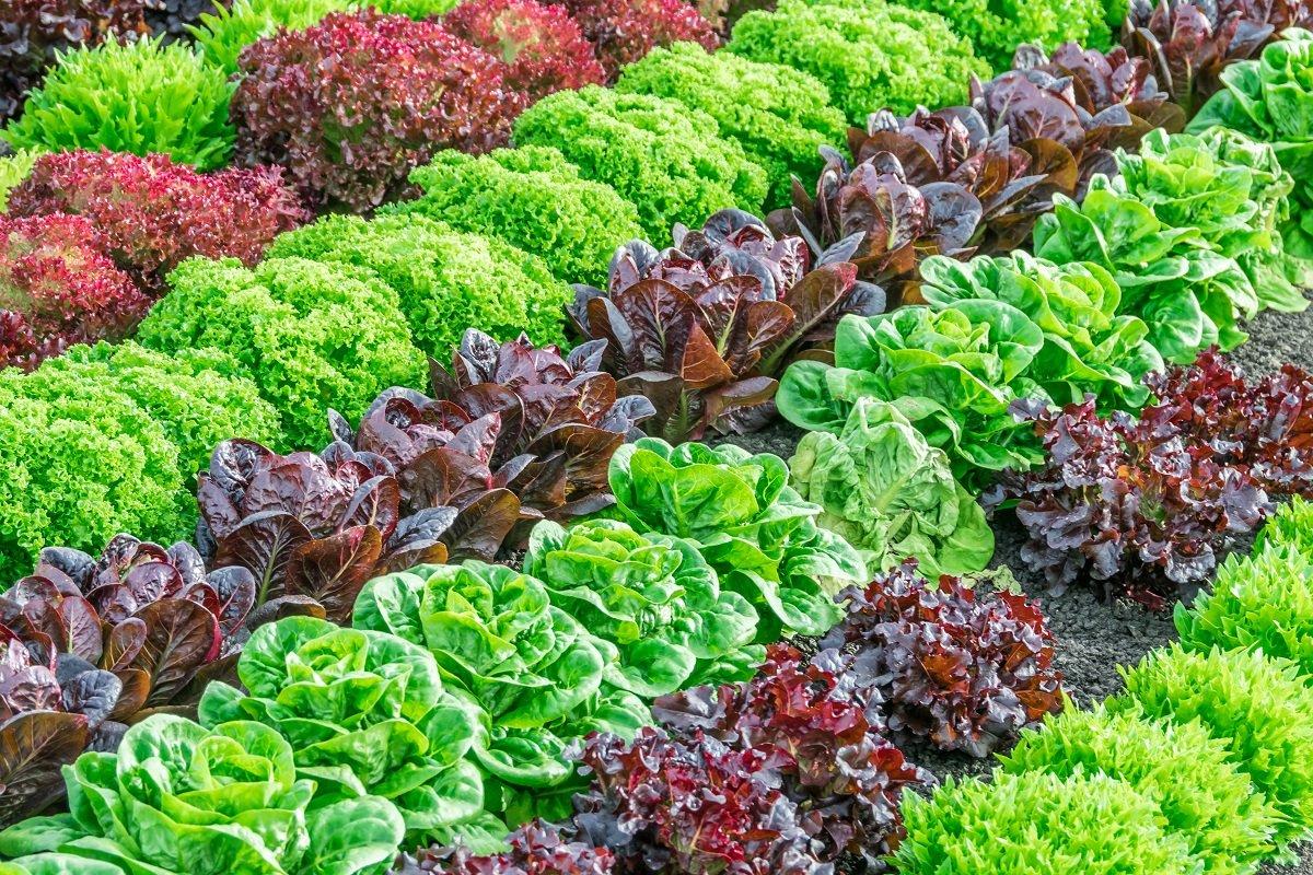 Особенности выращивания различных видов салата